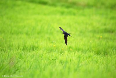 Hirundinidae (Swallows & Martins / Svaler)