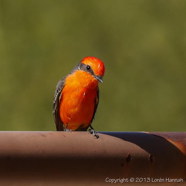 L's Tucson Small Birds