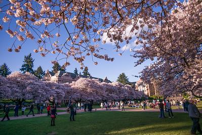 University Cherry Blossoms