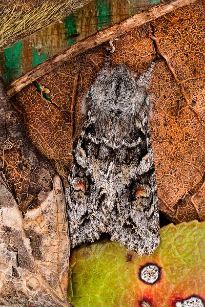 Wintry Woodling Moth