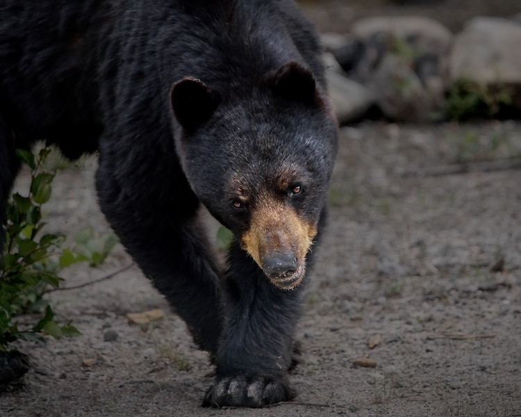 Black Bear, Labrador, Trans-Labrador Highway