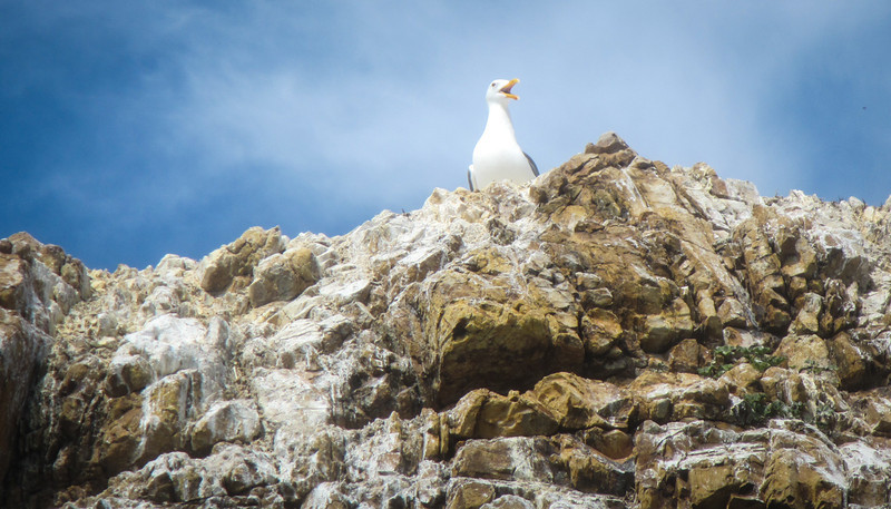 The West Brother rock hosts an integrated rookery of seagulls, cormorants, and pelicans.
