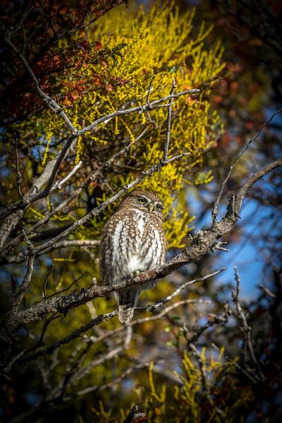 Pygmy Owl-4.jpg