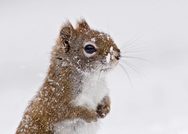 Red Squirrel  - snow covered - Dunning Lake - Itasca County, MN