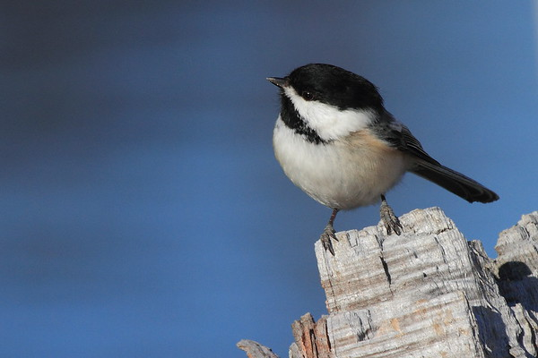 Chickadees, Nuthatches