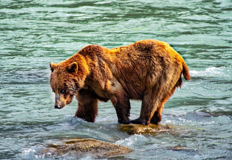 Bear feeding 2.jpg