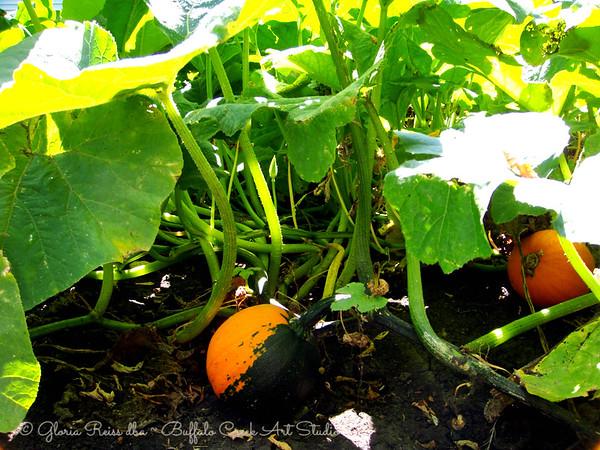 young pumpkins