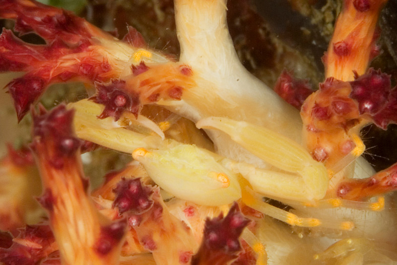 crab soft coral 10.jpg