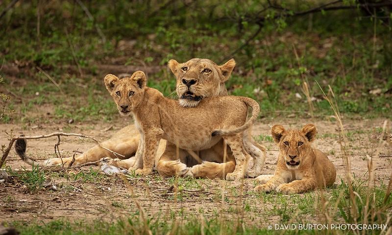 Bili_Lion-n-cubs_9129cc2fx-web.jpg