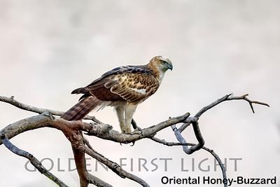 Oriental Honey-buzzard, Todoba, India