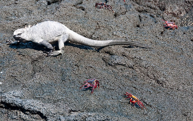 Iguanas, Lizards, Snakes