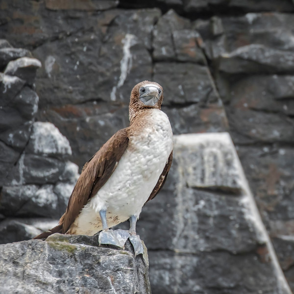 Peruvian booby