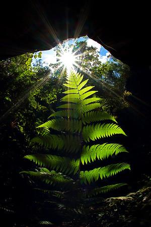 Ferns (Polypodiopsida)
