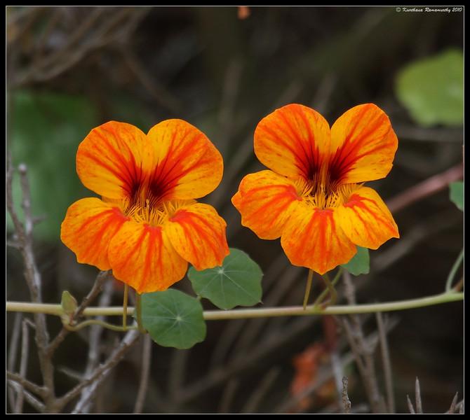 Garden Nasturtium, La Jolla Cove, San Diego County, California, May 2010