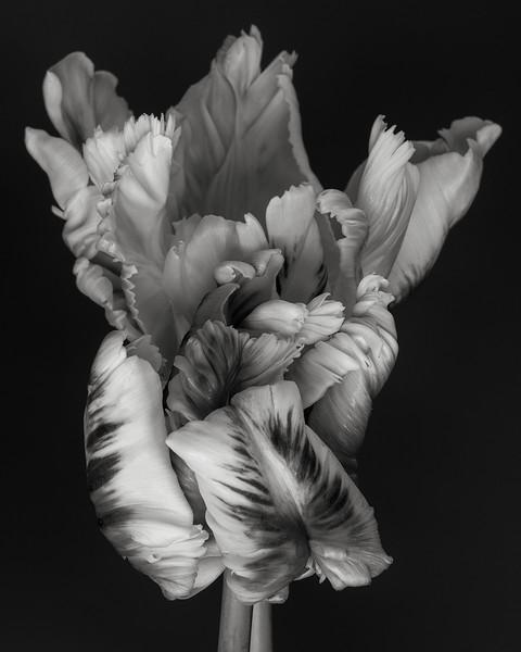 parrot-tulip-02.jpg
