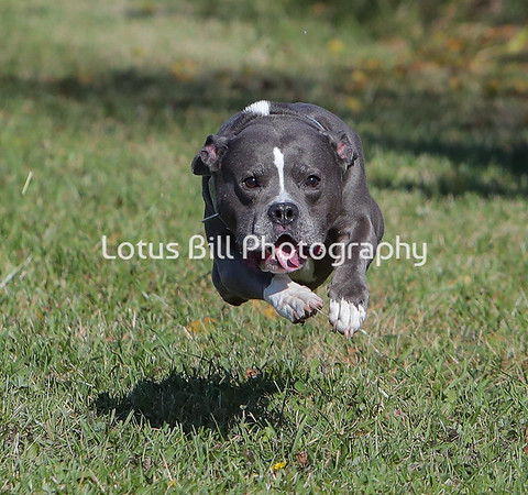 Staffordshire Terrier 2 SR31