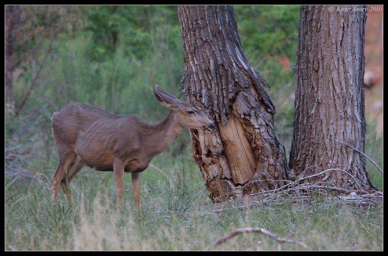 Mule Deer, Zion National Park, Utah, May 2010