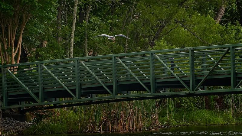 Great Blue Heron in flight over the bridge