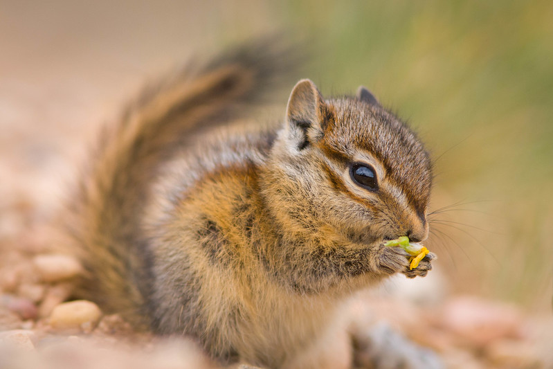 Young chipmunk, Bryce Canyon National Park