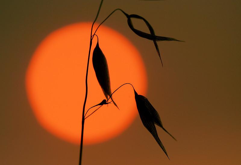Grasses Silhouette