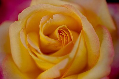 Peggy Rockefeller Rose Garden - 2010