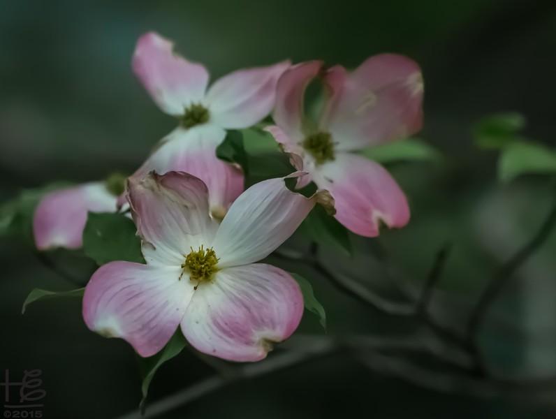 pink dogwood bracts