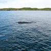 Humpback Whales, St. Anthony, Newfoundland - 3