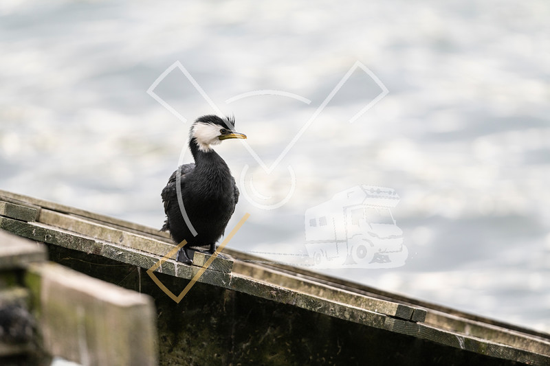 Adult white-throated morph of little shag, also named Little Pied cormorant or Kawaupaka in Maori