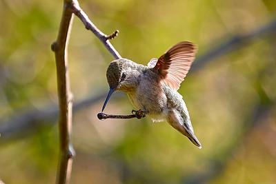Humming Bird Photos