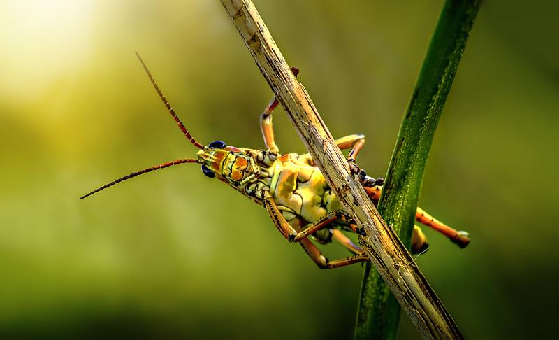 Grasshoppers 106.jpg