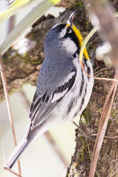 Yellow-throated Warbler So. FL 2020-2.jpg