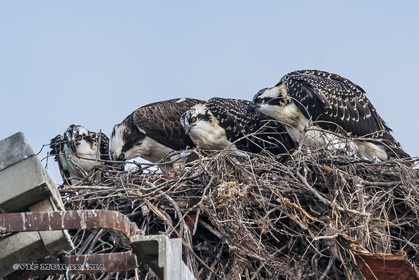 2013 Osprey Nests