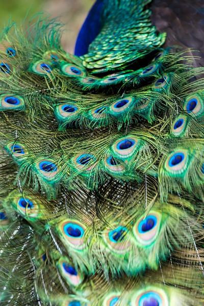 peacock feathers 2-0432.jpg