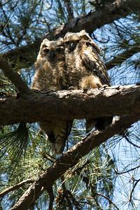 Owl  105