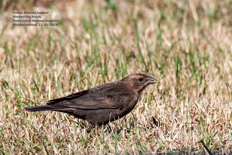 IMG_8756 3T fml Bronzed Cowbird Padre Island National Seashore.jpg