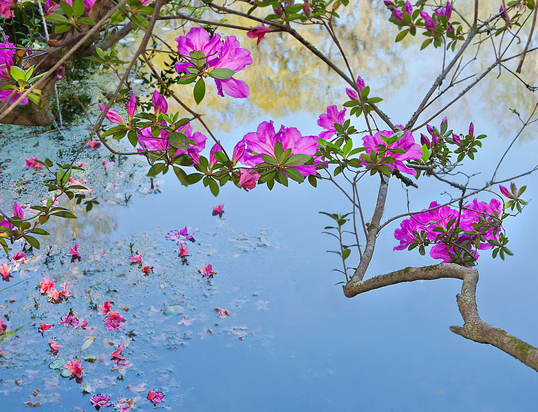 Azaleas across the water