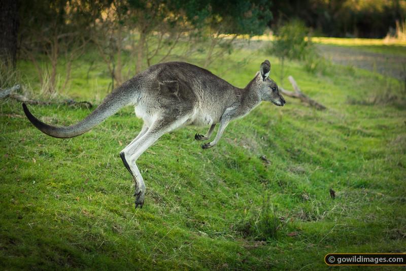 Eastern Grey Kangaroo in full flight across Grassy Spur track, Churchill NP