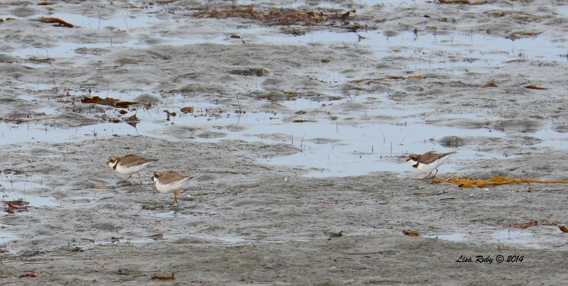 Semi-palmated Plovers - 12/19/2014 - Robb Field