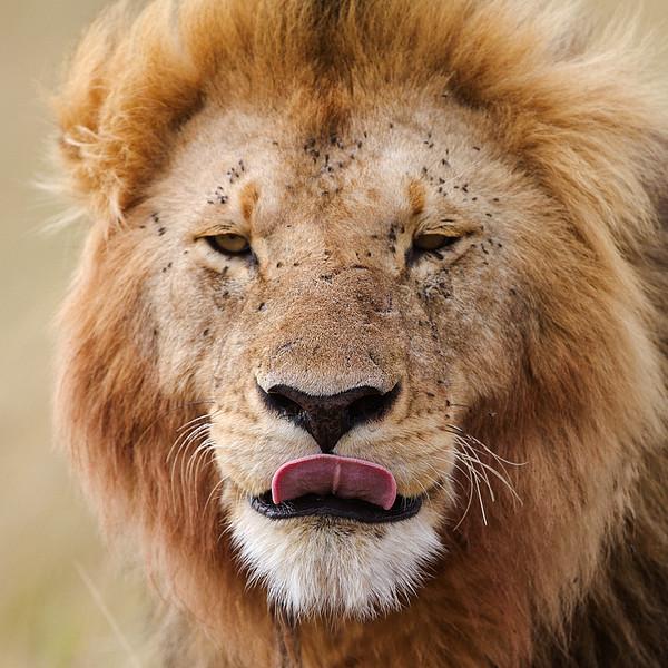 IMG_6269_lion_profile.jpg