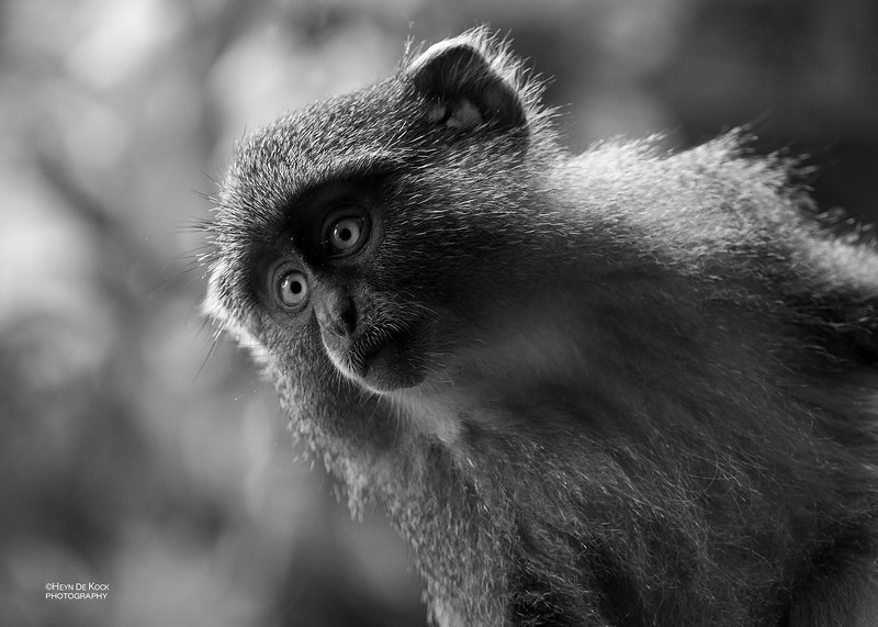 Samango Monkey, b&w, Hluhluwe-Imfolozi NP, KZN, SA, Jan 2014-1.jpg