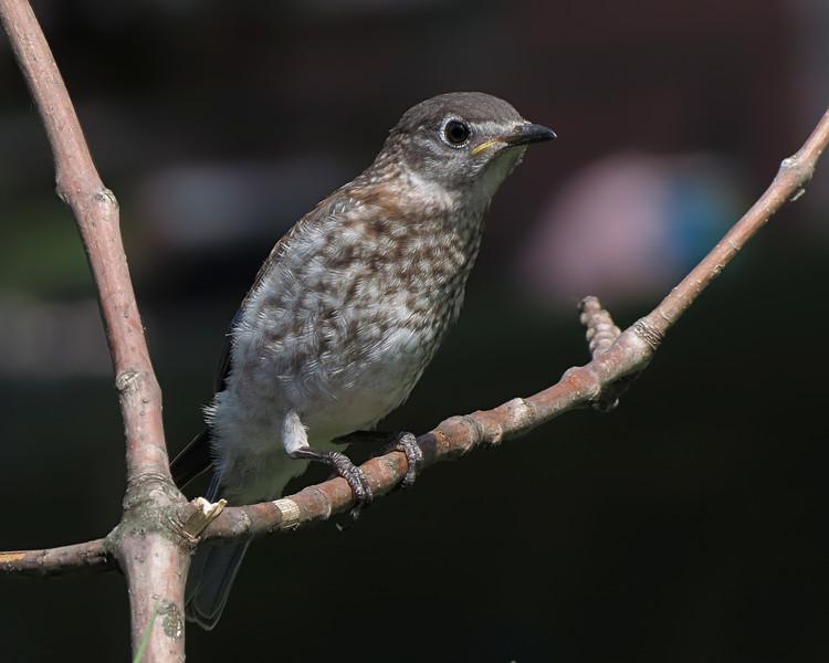sx40_bluebird_fledgling_585.jpg