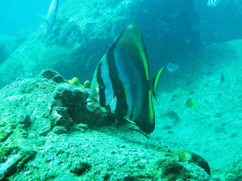 IMG_7678Ar_Orbicular batfish (Platax orbicularis).JPG