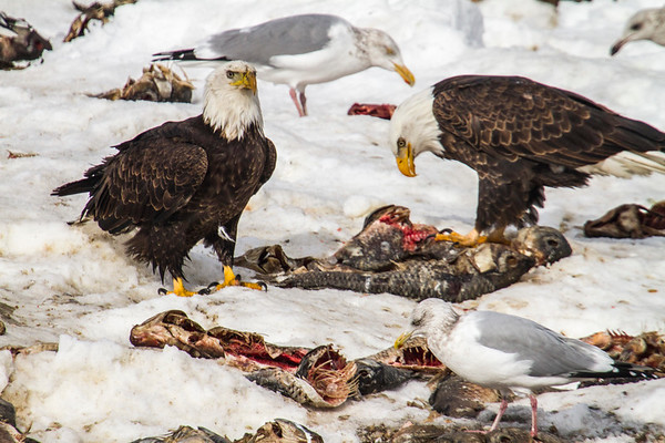 EAGLES OF FARMINGTON BAY, UTAH