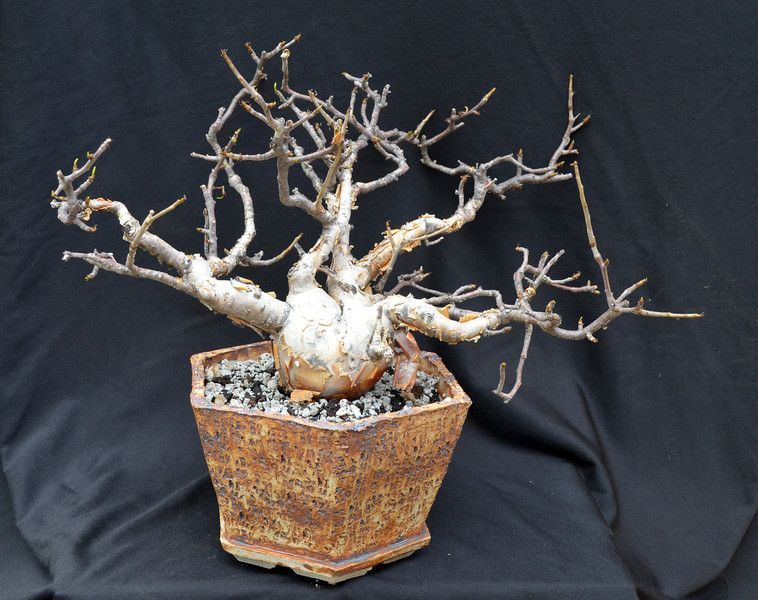 Potted bursera black.jpg