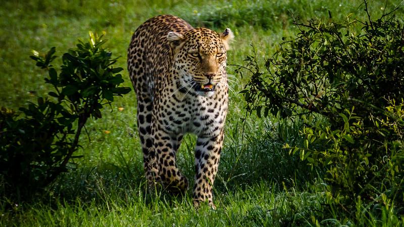 Leopards-0104.jpg