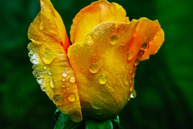 April 4 - April morning raindrops on a budding rose.jpg