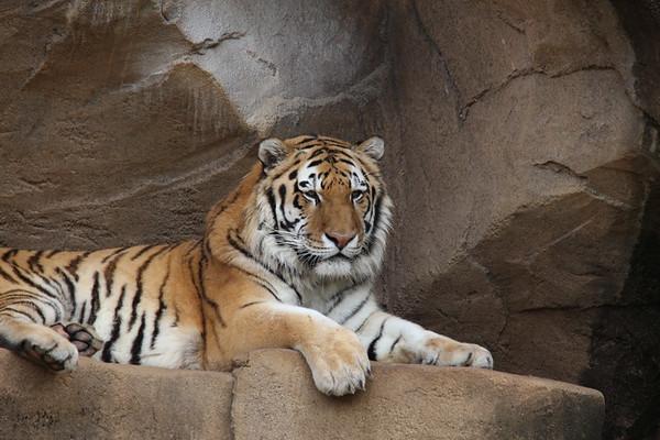 Riverbanks Tiger Originals 2014