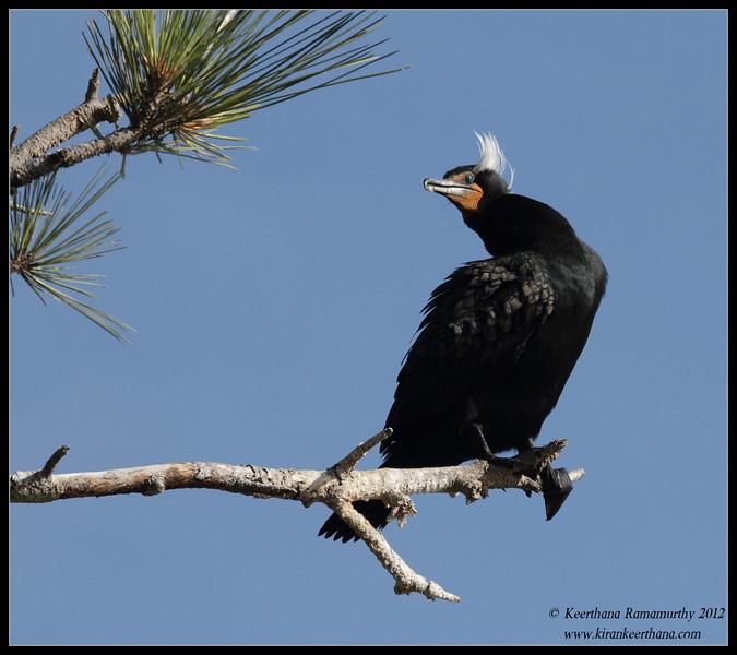 Double-crested Cormorant in breeding plumage, La Jolla Cove, San Diego County, California, April 2012