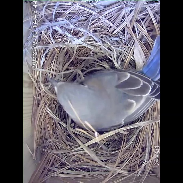 Day four of nest building