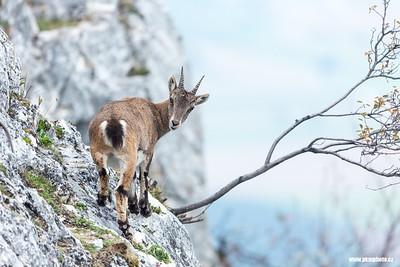 Alpine ibex (Kozorožec horský)